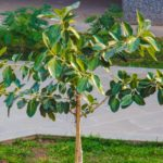 Campus Feature – The Banyan Tree