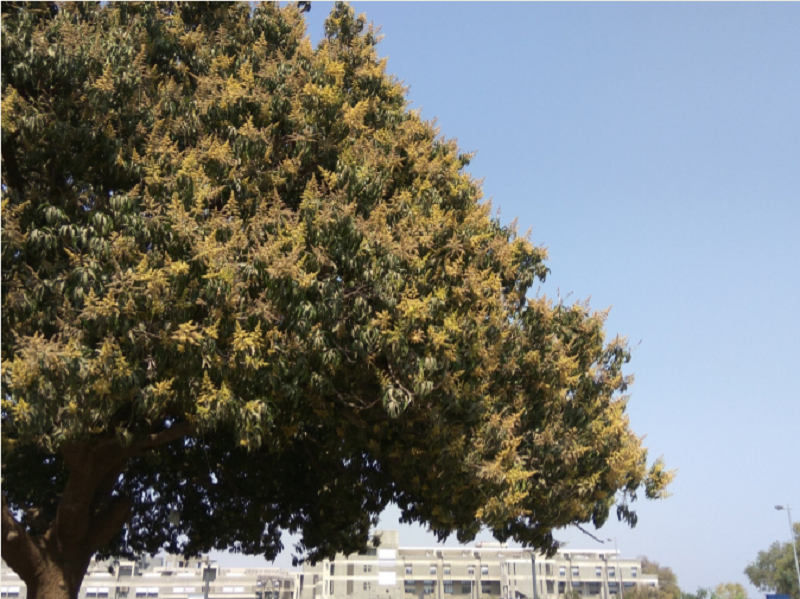 Campus Feature – The Mango Trees